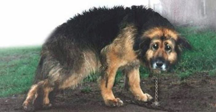 Image result for This dog is kept chained outside for 10 years, then the neighbors decide enough is enough